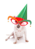 Pet with party hat and court jester glasses. Pet wearing court jester glasses and wearing a party hat on a plain background Stock Photo