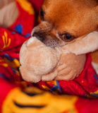Pet and peluche Royalty Free Stock Photos