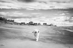 Pet with Personality. A golden retriever is walking along the beach in Rhode Island Stock Photo