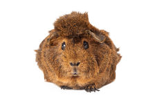 Pet Peruvian Guinea Pig Royalty Free Stock Photos