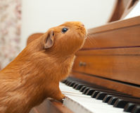 Pet Pianist. Anyone can play the piano royalty free stock photography