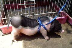 Pet pig for sell Stock Images