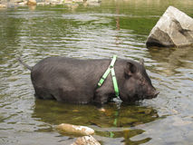 Pet pig in the water Royalty Free Stock Photos