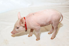 Pet Piglet. With Red Neck Collar stock image