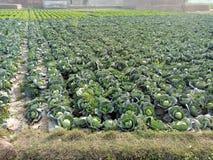 Brassica Oleracea capitata stock photos