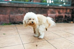 Pet poodle dog pooping within house compound. White tet poodle dog pooping within house compound Stock Photo