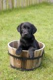 Pet Portrait. Black Lab in a barrel Stock Photography