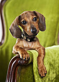 Pet portrait. Dachshund puppy dog portrait on green chair Royalty Free Stock Image