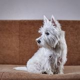 Pet portrait of puppy West Highland White Terrier lying on the couch. Pet portrait of puppy West Highland White Terrier lying or sitting on the couch stock photography
