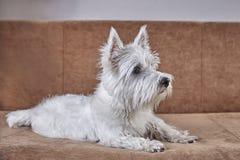 Pet portrait of puppy West Highland White Terrier lying on the couch. Pet portrait of puppy West Highland White Terrier lying or sitting on the couch stock image