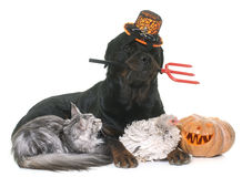 Pet and pumpkin of halloween Stock Image