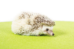 Pet Pygmy Hedgehog. Picture of a Pygmy Hedgehog on a green mat royalty free stock photos