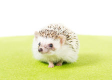 Pet Pygmy Hedgehog. Picture of a Pygmy Hedgehog on a green mat royalty free stock image