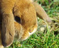 Pet rabbit Royalty Free Stock Image