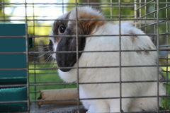 Pet Rabbit in Cage Stock Images