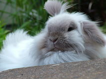 Pet Rabbit in the garden. Pet white rabbit in the garden stock images