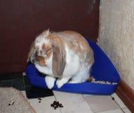 Pet rabbit. Rabbit pet move freely around the apartment Stock Image