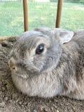 Pet rabbit portrait looking at camera stock image