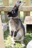 Pet rabbit sit up and beg Stock Image