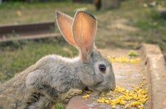 Big gray bunny with big ears eating corn Stock Photography