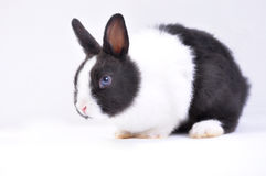 Pet rabbit. A pet rabbit on white royalty free stock image