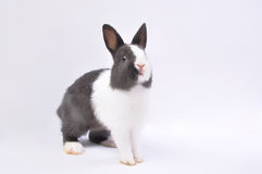 Pet rabbit. In white background,Black and white hair color royalty free stock photos