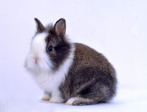 Pet rabbit. In white background,Black and white hair color stock images