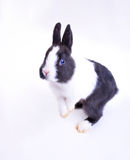 Pet rabbit. In white background,Black and white hair color Royalty Free Stock Photography