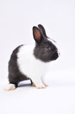 Pet rabbit Stock Photography
