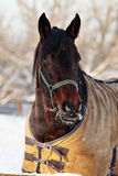 Pet race horse at farm paddock Royalty Free Stock Photos
