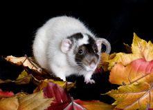 Pet Rat. On autumn leaves in studio Stock Images
