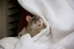 Pet rat Stock Photography