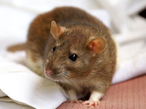 Pet rat Stock Images