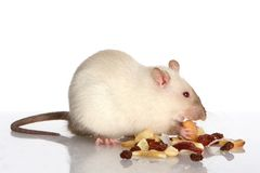 Pet Rat Eating Royalty Free Stock Image