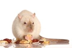 Pet Rat Eating Nuts Stock Photo