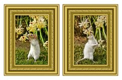 Pet rat and flowers Stock Images