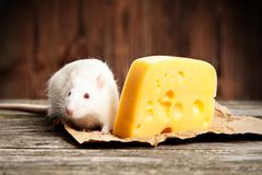 Pet rat with a large piece of cheese Stock Photography