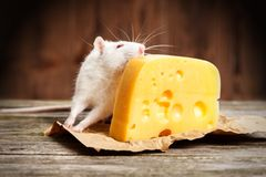 Pet rat with a large piece of cheese Royalty Free Stock Photo