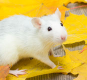pet rat Stock Photo