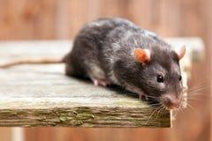 Pet rat Royalty Free Stock Image