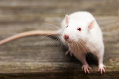 Pet rat Royalty Free Stock Photography