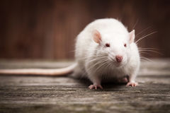 Pet rat Royalty Free Stock Photo