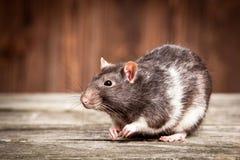 Pet rat Stock Image