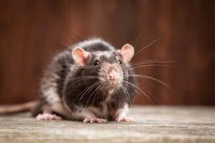 Pet rat Royalty Free Stock Photos