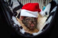 Pet Rat Santa Hat. Fancy agouti-colored hooded pet rat wearing a Santa Claus hat for Christmas royalty free stock photos