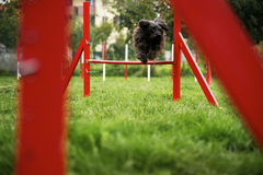 Pet running, agility race with dog jumping over hurdle Royalty Free Stock Image