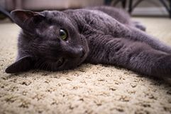 Russian Blue Cat Posing Royalty Free Stock Photos