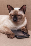 Pet selects an application for entertainment. Young beautiful Thai cat lying on the couch and playing with a mobile phone Stock Image