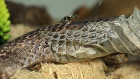 Pet serpent skin shedding close up