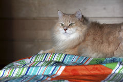 Pet. Siberian cat on the bed. Stock Images